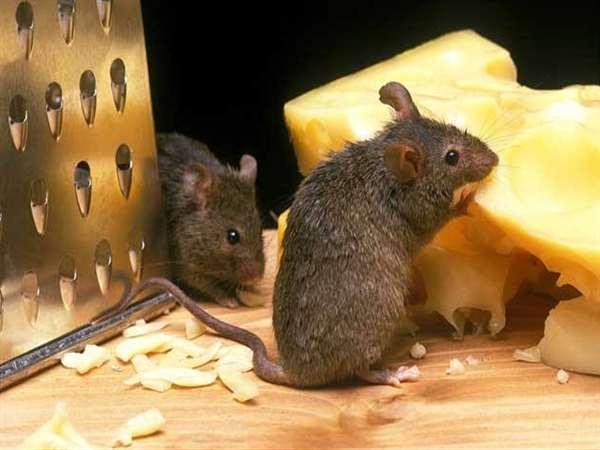 河南灭鼠团队,郑州鼠患防治中心,焦作老鼠消杀
