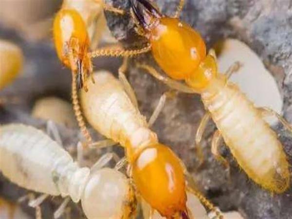 河南白蚁防治,南阳白蚁处理,除白蚁厂家