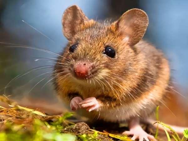 灭老鼠,灭四害,河南灭老鼠服务