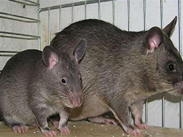 河南家庭灭鼠服务,郑州酒店灭鼠公司,焦作除老鼠机构