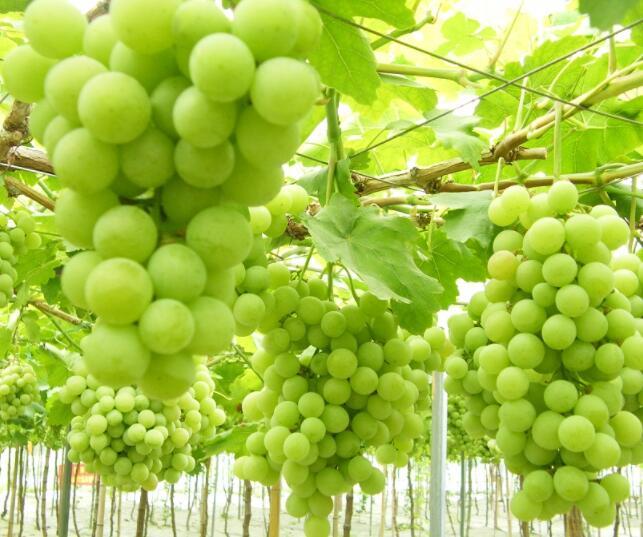 陕西青玉葡萄厂商 陕西青玉葡萄价格