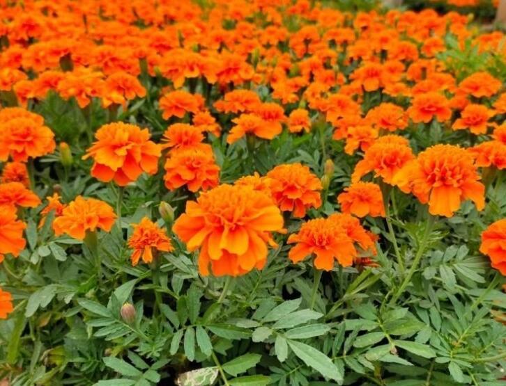 四川草本花卉批发 四川花境植物种植基地