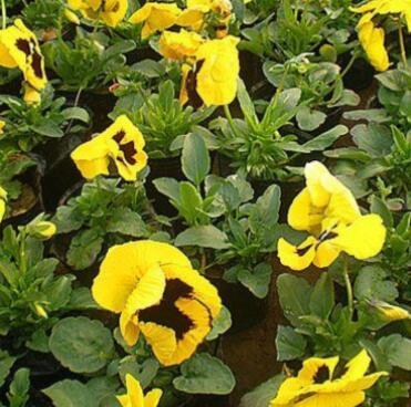 多年生草本植物 成都花境植物供应商